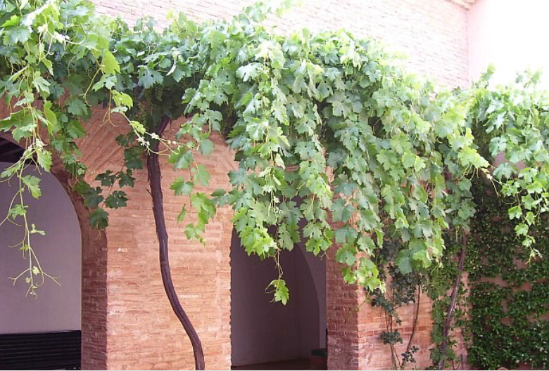 Spanish grape vines