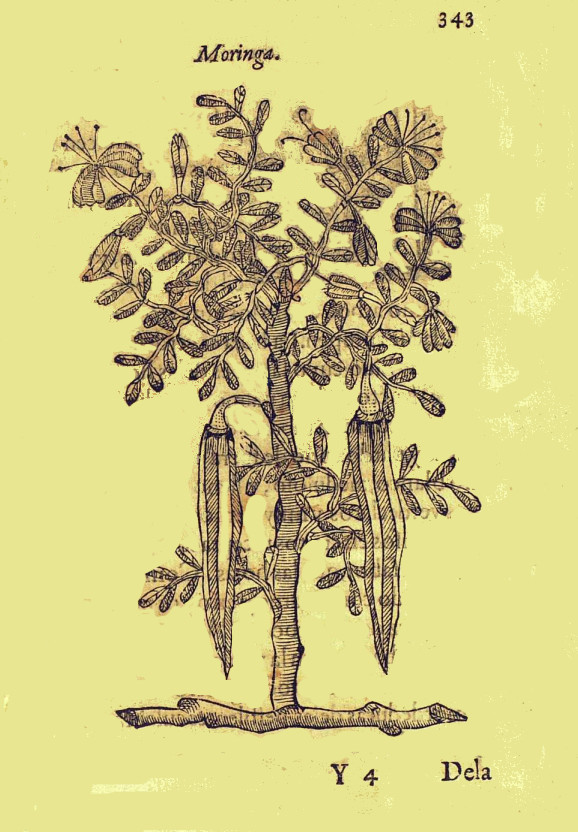 Moringa drawing from the 1500s