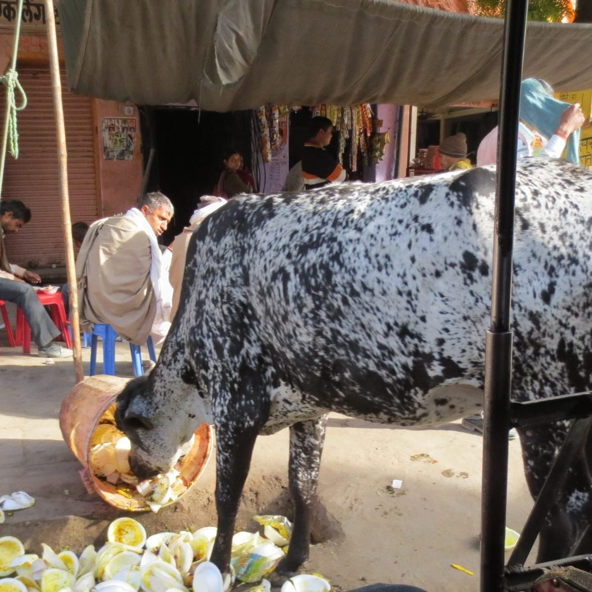 Cow in India eating out of a trash can